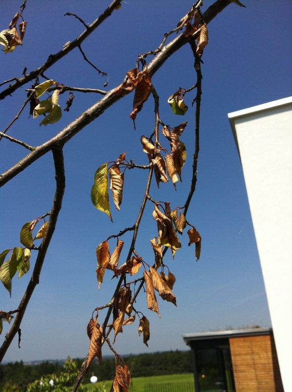 bl tter an h nge kirschbaum verdorren nach dem einpflanzen. Black Bedroom Furniture Sets. Home Design Ideas