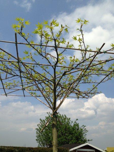 liduidamber kugelbaum mit wachstumsproblemen ursachen und abhilfe fragen bilder pflanz. Black Bedroom Furniture Sets. Home Design Ideas