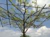 Liquidamber / Amberbaum Dachform
