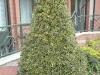 04_ilex-aquifolium-argenta-marinata