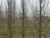 04_carpinus-betulus_frans_fontaine_hainbuche_400-450cm_drahtballen