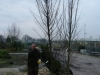 05_carpinus-betulus_hainbuche_heister_500cm