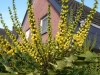07_mahonia-media_winter_sun_bluete