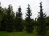 15_omorika_fichte_picea_omorika_700-800-cm