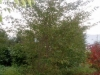 Prunus accolade 400-450