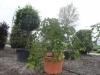 Prunus subhirtella Pendula halfstam c750 solitair extra