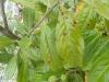 02_Prunus_Schrotschuss