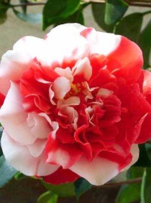 die camellia kamelie zierelement in vielen farben sorten mit wundersch ner bl tenpracht. Black Bedroom Furniture Sets. Home Design Ideas