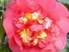 03_Camellia_Japonica_R_L_Wheeler