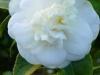 04_Camellia_Japonica_Noblissima