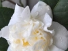 05_Camellia_Japonica_Snowball