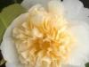 08_Japanische_Kamelie_Brushfield_Yellow