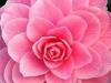 09_Japanische_Kamelie_Mrs_Tingley