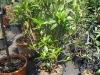 06_osmanthus-fragrans-100-125-cm-c25