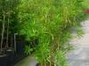 11_nerium_oleander-150-175