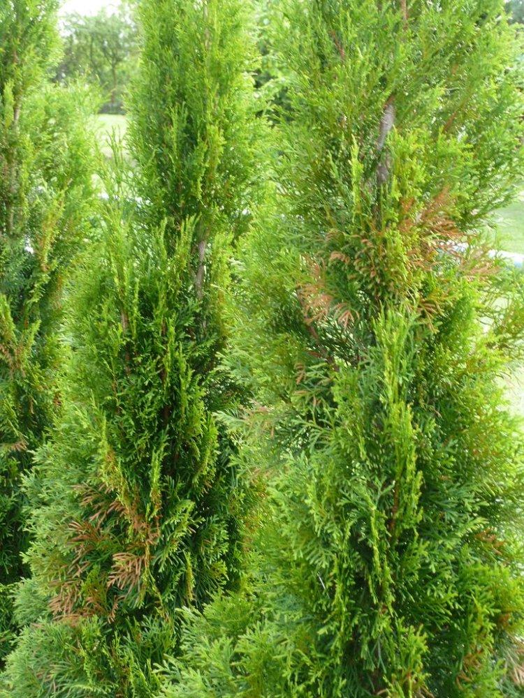 thuja occidentalis lebensbaum fragen bilder pflanz und. Black Bedroom Furniture Sets. Home Design Ideas