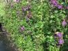 05_RankpflanzeClematis_viticella_Etoile_Violette_Waldrebe_Etoile_Violette