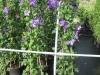 06_Kletterpflanze_Clematis_viticella_Jackmanii_Waldrebe_Jackmanii