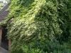 09_Kletterpflanze_Hedera_algeriensis_Gloire_de_Marengo_Nordafrikanisches_Efeu_Gloire_de_Marengo