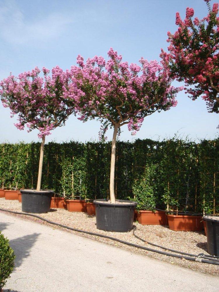 Exotische pflanzen fragen bilder pflanz und for Balkon baum winterhart