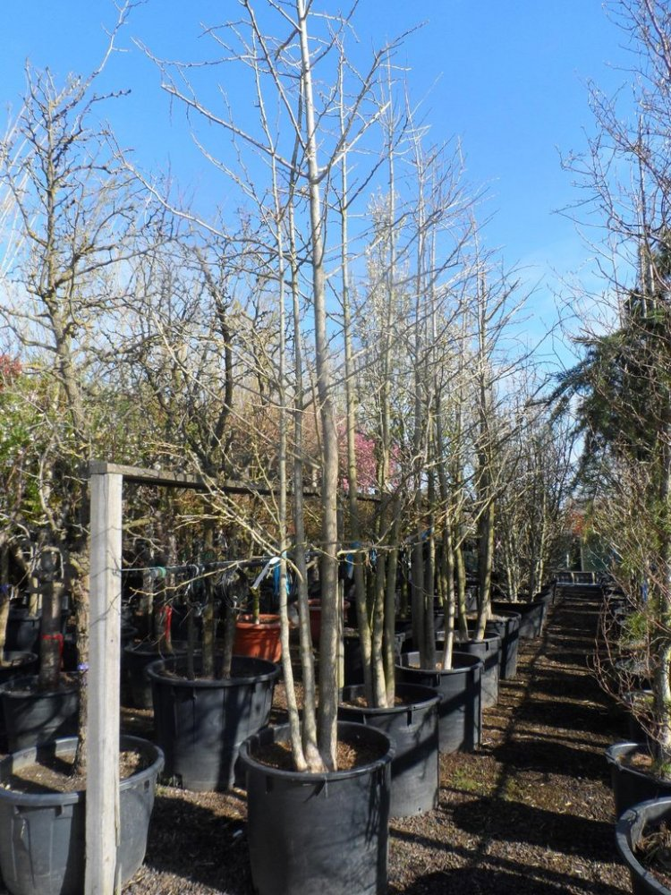 Baum als sichtschutz images frompo - Sichtschutz baum ...