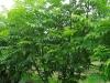 11_Pterocarya fraxinifolia - Fluegelnuss mehrstaemmig
