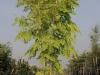 13_Robinia pseudoacacia Frisia - Goldblatt-Robinie - Gold-Robinie mehrstaemmig_300-350cm_C110