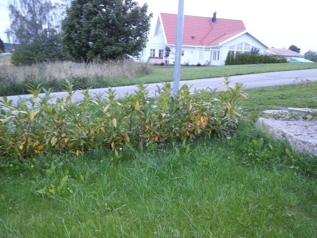 Kirschlorbeer Bekommt Gelbe Blätter kirschlorbeer herbergii bekommt gelbe blätter ursachen und