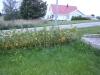02_Prunus_Kirschlorbeer_gelbe_Blaetter