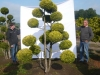 01_Gartenbonsai Chamaecyparis lawsoniana Gold Spangle Hoehe 225-250 cm