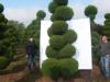 02_Garten-Bonsai Cupressocyparis leylandii Blue Jeans Hoehe 250-300 cm
