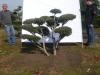 08 Gartenbonsai Pinus mugo Hoehe 125-150 cm