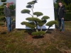 10 Garten-Bonsai Pinus mugo Hoehe 175-200 cm