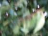 03_Prunus_Lusitanica