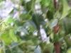 07_Prunus_Lusitanica