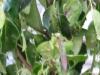 08_Prunus_Lusitanica