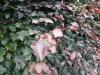 11_Blutbuche_Fagus_Sylvatica purpurea_Blatt_im_Detail