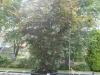 02_Corylus_maxima_Purpurea_ Purpur-Hasel_ Blut-Hasel_300-400cm