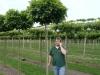 20_Quercus_palustris_Green_Dwarf_Kugelsumpfeiche