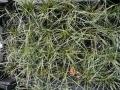 01_Carex_conica_Snowline_Gartensegge_Snowline
