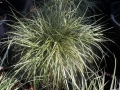04_Carex_hachijoensis_Evergold_  Japan-Gold-Segge