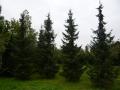 09_Serbische_Fichte_Picea_Omorika_800-900cm_Freiland.JPG