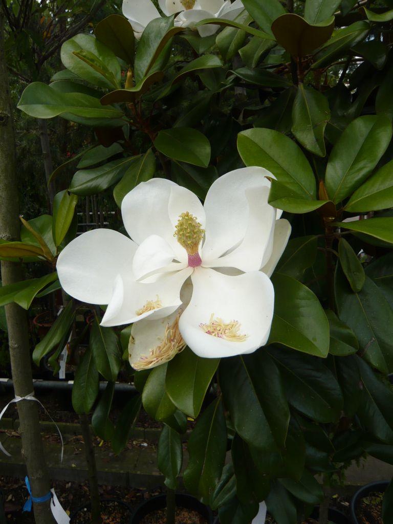 01_Magnolia Grandiflora_Goliath_Bluete