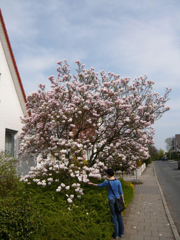07_Magnolia soulangiana  Tulpen-Magnolie_Strauchform