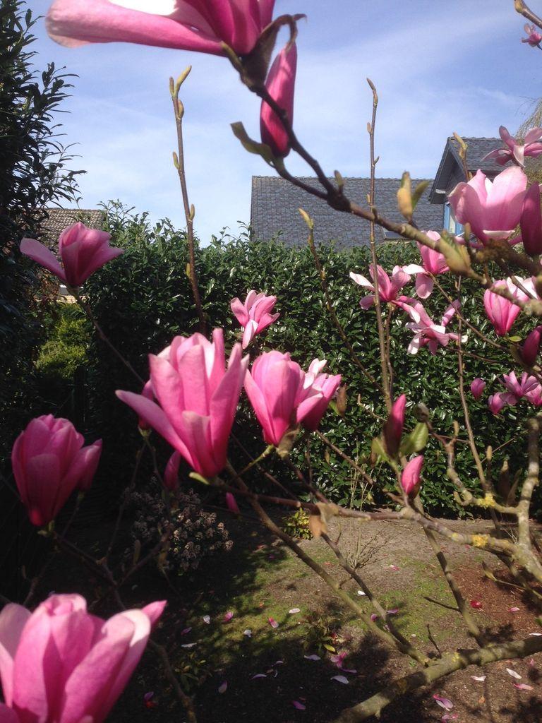 08_Magnolia soulangiana 'Heaven Scent'  Tulpen-Magnolie 'Heaven Scent'