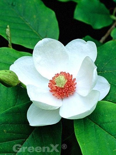 15_Magnolia sieboldii  Magnolia parviflora  Siebolds Magnolie  Sommer-Magnolie