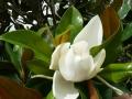 02_Magnolia Grandiflora_Goliath_Bluete