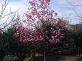 10_Magnolia soulangiana 'Heaven Scent'  Tulpen-Magnolie 'Heaven Scent'