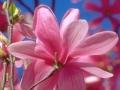 13_Magnolia 'Galaxy'  Großblumige Magnolie 'Galaxy'