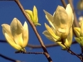 14_Magnolia brooklynensis 'Yellow River'  Magnolie 'Yellow River'